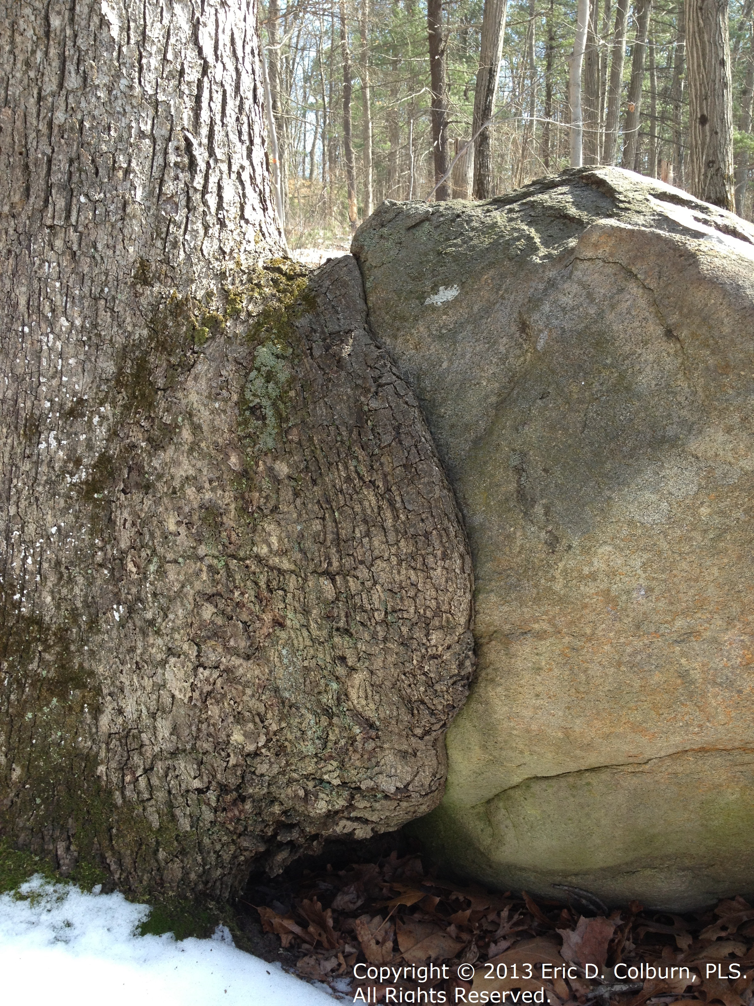 North Kingstown RI Tree Swallowing a Boulder